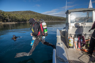 Divers enter the water to measure how much the new giant kelp has grown.