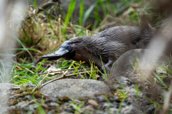 Victoria is moving to recognise platypuses as vulnerable and other regions may do so too.