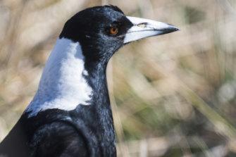 The sentinel bird.
