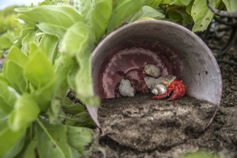 Hermit crabs shelter in plastic washed up on Henderson Island.