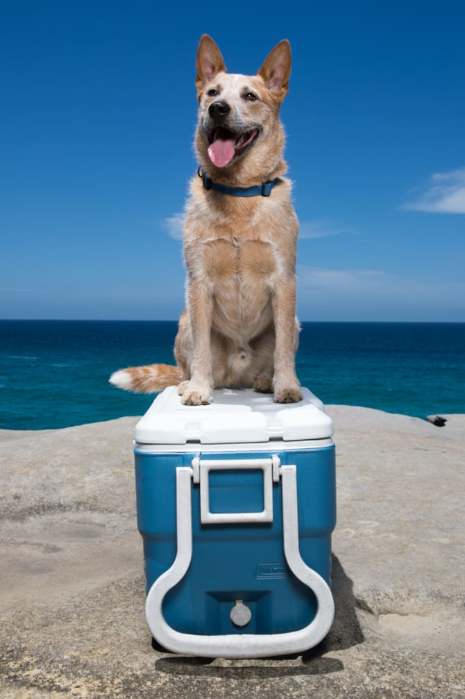Red Dog on a Tuckerbox, modelled by Reggie.