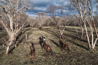Running wild: feral horses on Long Plain in the Kosciusko National Park.