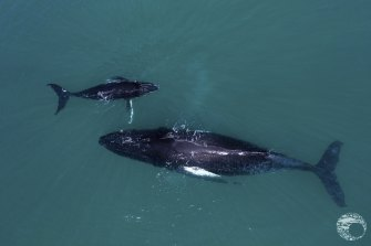 A humpback and her calf in Exmouth Gulf.