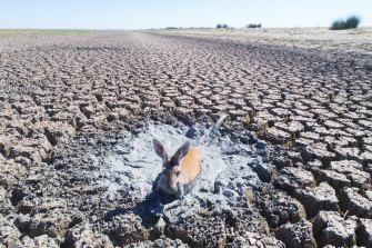 In January 2019, dead and dying kangaroos, goats and sheep were seen stuck in drying mud in the drainage canal of Lake Cawndilla, one of the four main lakes of the Menindee system that is now beginning to fill again.