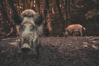 Feral pigs dig for food with their snout, releasing huge amounts of carbon trapped in the soil as a result.