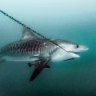 Shark drumlines to return to Queensland water