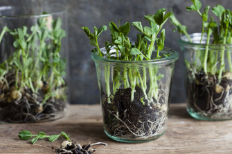 Now is a good time to grow microgreens in your kitchen