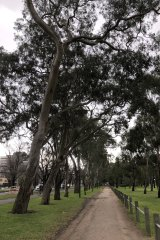 A tree marked as dying by Melbourne City Council leans towards the walking track on Royal Parade.