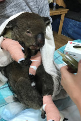 An injured koala at Mallacoota Incident Control Centre.