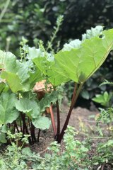 Rhubarb needs sun in Sydney.