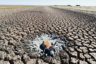 A photo of a suffering kangaroo in the drying Menindee Lakes by Herald Chief Photographer Nick Moir, who is a finalist for his work.