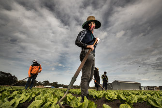 Dang Chinh The works a field of cos lettuce on Tuesday at Boratto Farms.