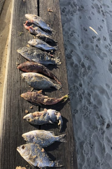 Saint Kilda resident Sarah Low reported dead fish on Middle Park Beach on Sunday morning.