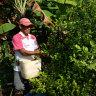 In a small village in Colombia, a farmer picks Coca leaves.