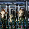 Lab-grown cheese gets record cash injection to tap cow-free market