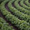 Nufarm rising after Brazilian glyphosate ban overturned
