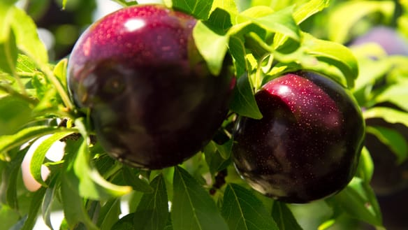 Accidental Queensland plums a 'cracking piece of fruit'