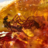 Mating flies found in huge cache of Australian amber