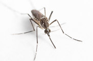 Australia has about 300 of the 3500-odd mosquito species in the world.