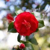 It's time to cut back camellias.