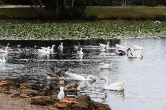 Birds enjoying the refilled Busbys Pond on Sunday.