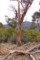 A tree struck by lightning near Canberra.