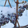 Warm winter crushes German ice wine crop