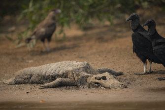 Vultures stand next to the carcass of a alligator on the banks of the Cuiaba river at the Encontro das Aguas Park in the Pantanal.