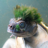 The Mary River turtle is under threat.
