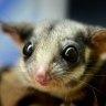 The critically endangered Leadbeater's possum.