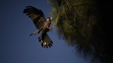 Perth's black cockatoos rely on pine plantations for shelter and forage.