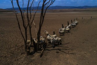 Sheep on a parched lake floor. Burrendong Dam is down to 1.6 per cent.