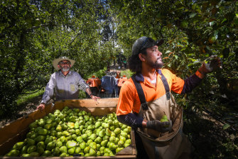 Fruit grower Maurice Silverstein and picker Lale Faitala harvesting pears in Orrvale earlier this year.