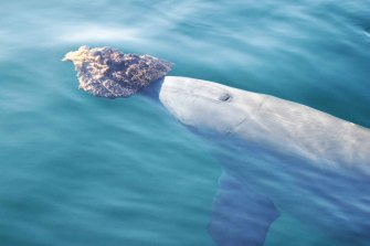 A dolphin in Shark Bay uses a sponge as a foraging tool.