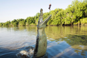 Modern-day crocodiles prefer a diet of meat. And more meat.