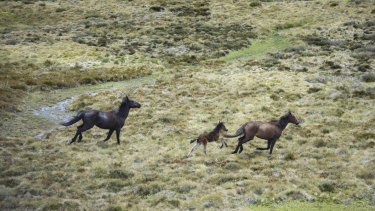 Wild horses - brumbies - flee from a helicopter in Kosciuszko National Park.