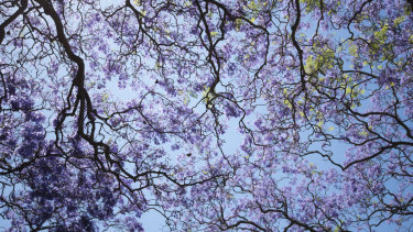 At least one person is not a fan of the jacaranda.