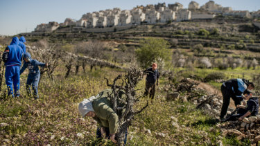 Palestinians working on a vineyard in the occupied West Bank, with an Israeli settlement in the background.