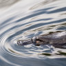 Platypus in peril as national range shrinks a quarter in three decades