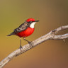 Rarely seen birds flock to Victorian oases as drought's grip tightens