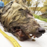 Prehistoric wolf head found as Siberian permafrost thaws