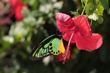 A male New Guinea Birdwing butterfly photographed by Dr Lambkin.