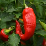 Now is the time to sow chilli seeds.