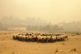 Sheep gather for cover during a wildfire on the Greek island of Evia.
