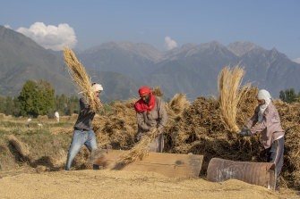 Kashmiri villagers thresh rice after harvest in the outskirts of Srinagar, Indian controlled Kashmir. Agriculture is the main source of food, income and employment in the mostly Muslim region.