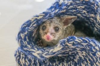 A brushtail possum in a home made wildlife pouch, cared for by a WIRES volunteer.