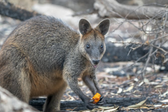 Thousands of kilograms of carrots and sweet potato were delivered to endangered brush-tailed rock wallabies in NSW as the fires abated.