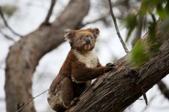 A koala affected by the summer bushfires. Conservationists warn that the Nationals' demands would water down protection laws.