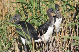 Straw-necked ibis in the Macquarie Marshes after water returned to the key wetlands.