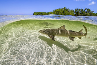 Lemon sharks in the Bahamas in A Perfect Planet,
